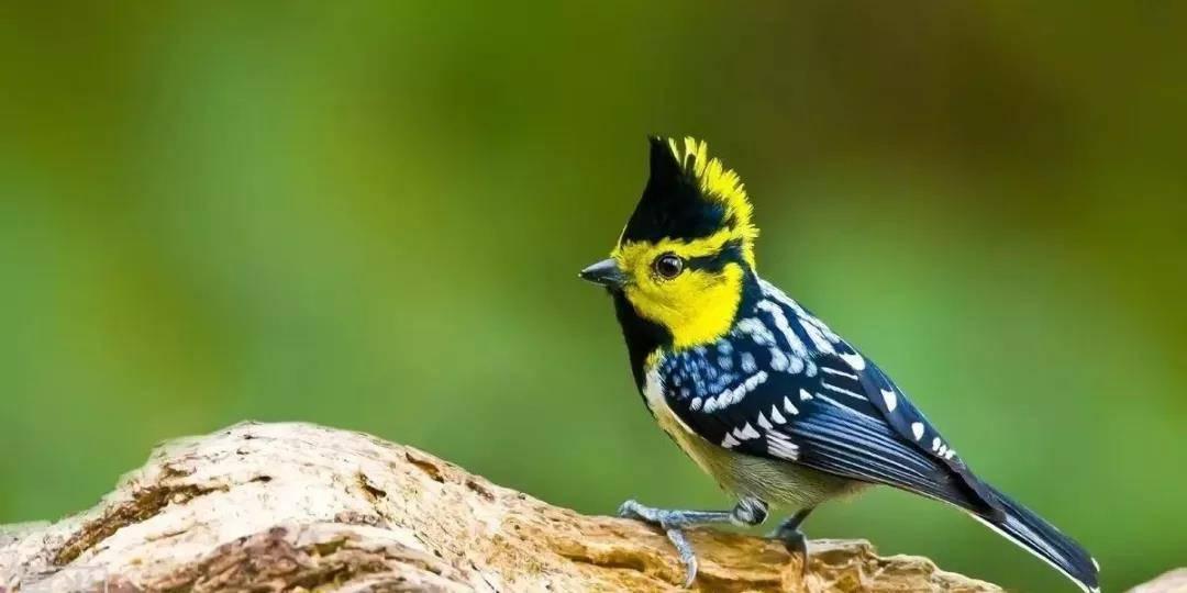 黄颊山雀如何饲养
