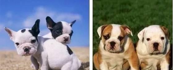 法国斗牛犬和英国斗牛犬最大的区别在哪里?