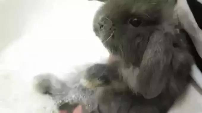 兔子可以用浴沙洗澡吗
