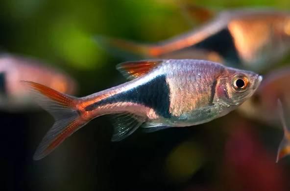 蓝三角灯鱼是三角灯鱼的一种分类,学名为黑斑三角波鱼,体长约3~5cm左右,其胸腹部位到尾鳍有一个黑色的三角形,体表颜色为金黄色,但在游动时会反射出明艳的蓝色,一般在水域中上层范围活动。
