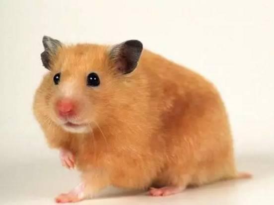 仓鼠怎么挑选?如何挑选一只健康的小仓鼠呢