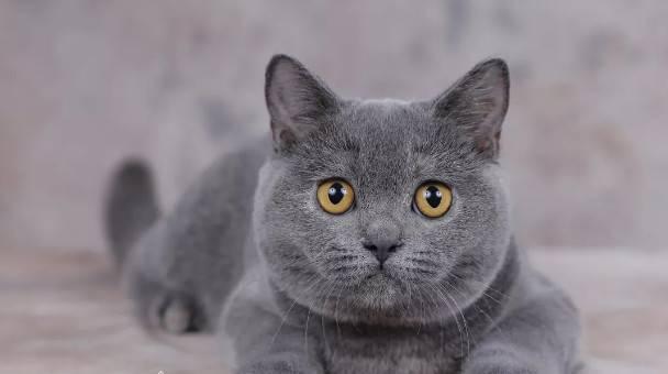 英伦风潮的宠儿——英国短毛猫