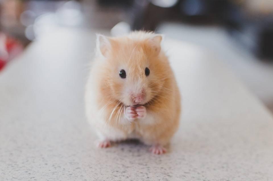 仓鼠常见疾病及防治
