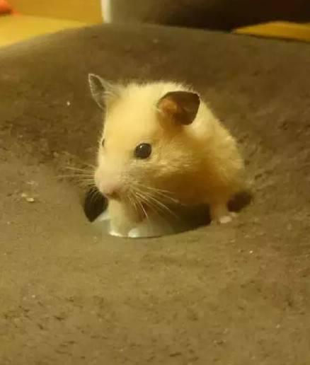 忍笑,这样的小仓鼠好像有点臭臭