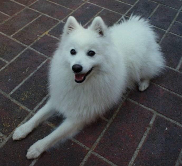 银狐犬和萨摩耶的区别,教你如何区分银狐犬和萨摩耶