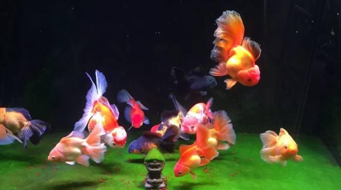 新手在金鱼患病时的两种极端错误做法