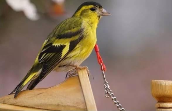黄雀怎么养,笼养黄雀繁殖经验分享