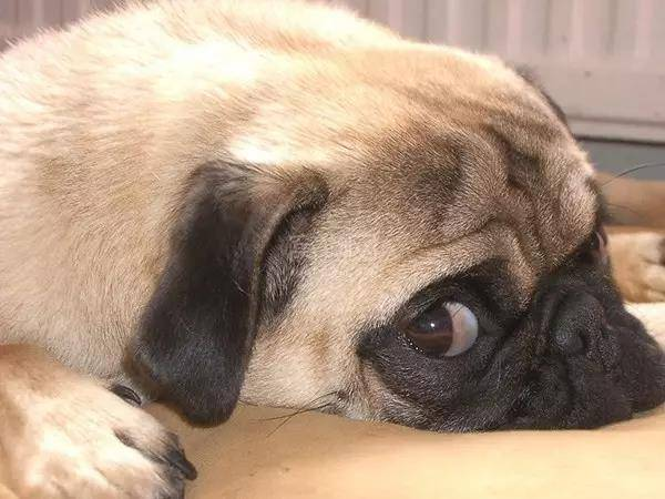 狗狗有泪痕是什么原因,狗狗泪痕怎么去掉