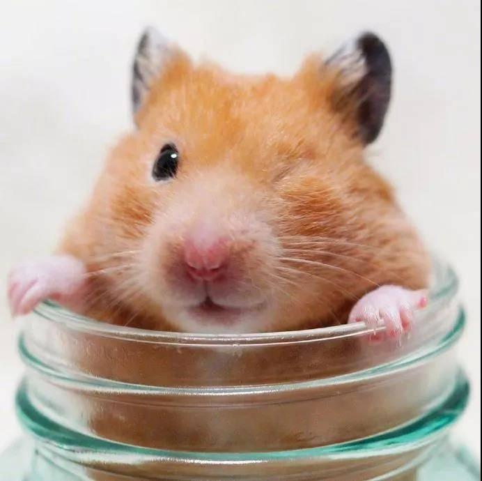 仓鼠这个好奇的小眼神,萌化了