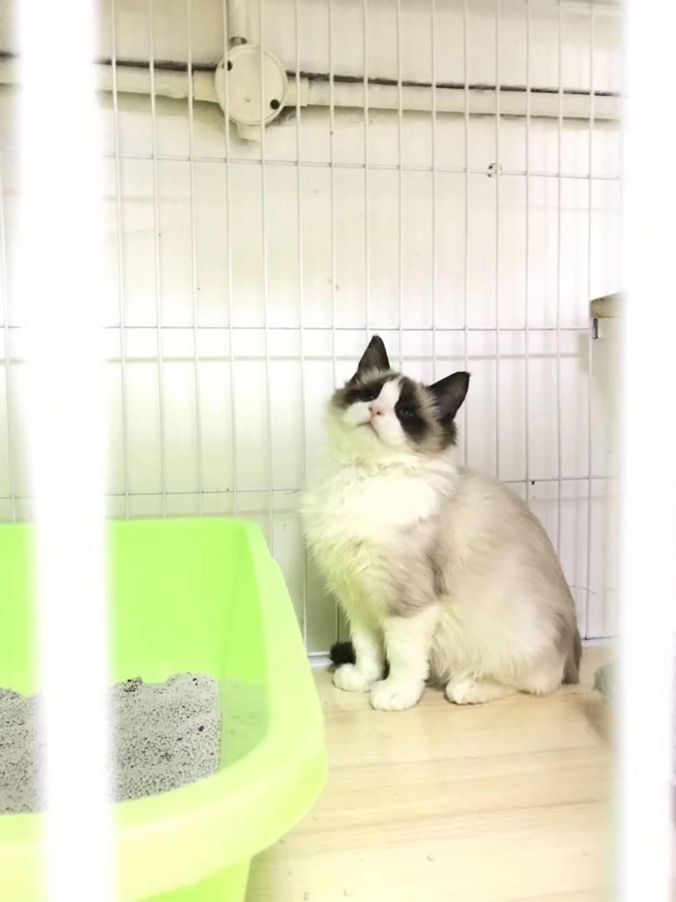温柔可爱的布偶猫,你可喜欢吗