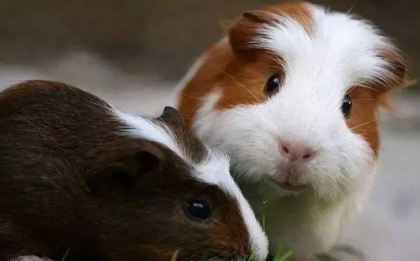 荷兰猪脱肛怎么救治