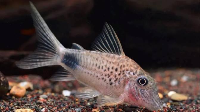 有哪些观赏鱼可能很快会步入灭绝?