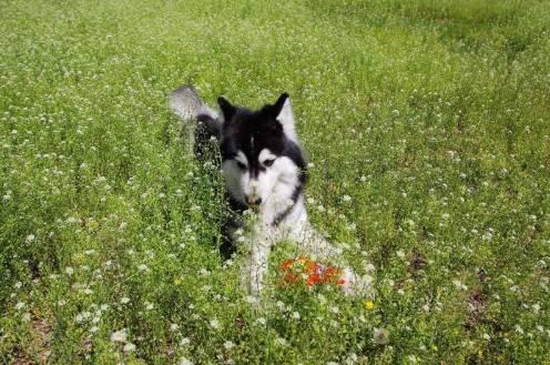 阿拉斯加犬如何喂养,大狗也是需要细心的