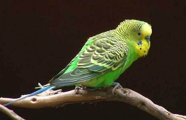 虎皮鹦鹉价格虎皮鹦鹉多少钱一只及选鸟技巧