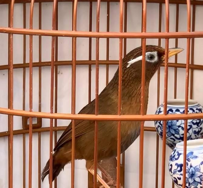 画眉母鸟的属性和用途