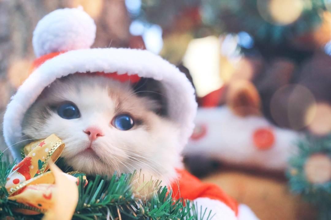 旷世美颜布偶猫呀