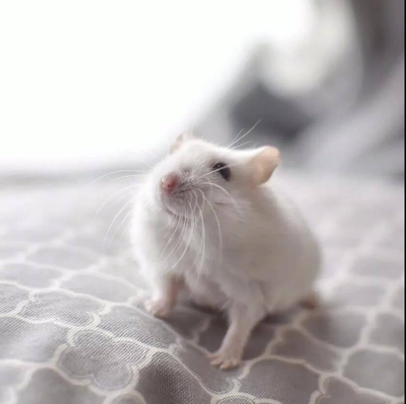 来自岛国小仓鼠的治愈笑容