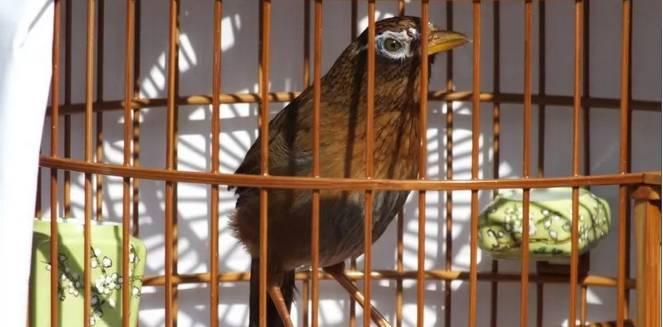 看画眉鸟的动作知鸟性