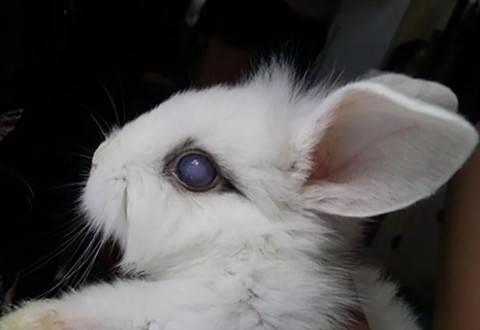 兔子眼睛变得白浊是怎么回事?