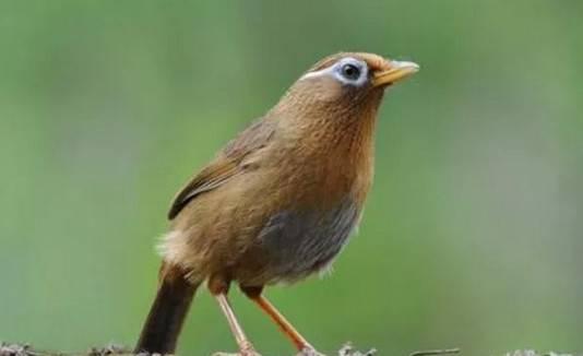 """画眉鸟的常见疾病,主要分为这""""九大类型"""""""