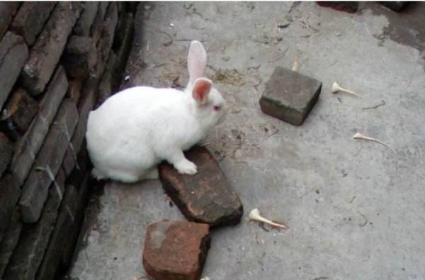 母兔怀孕的症状
