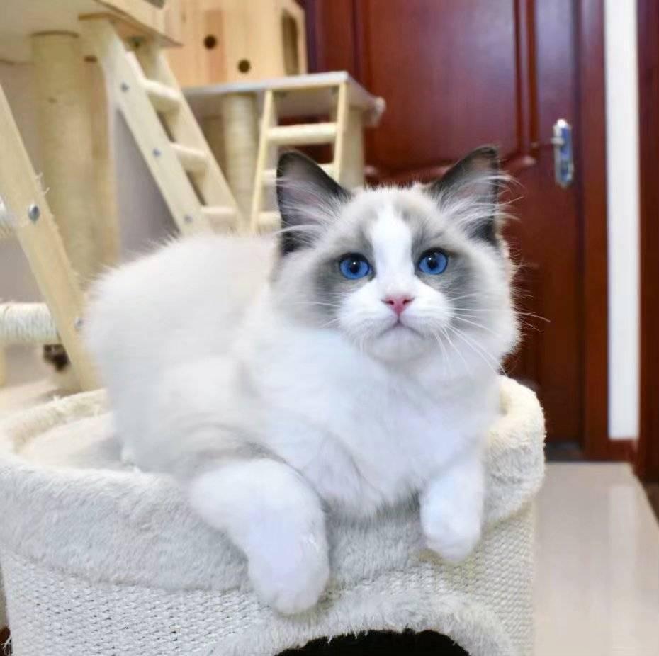 布偶猫掉毛严重怎么办
