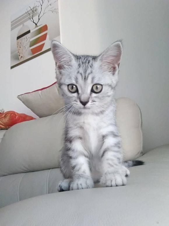 4个月美国短尾猫,有喜欢的吗