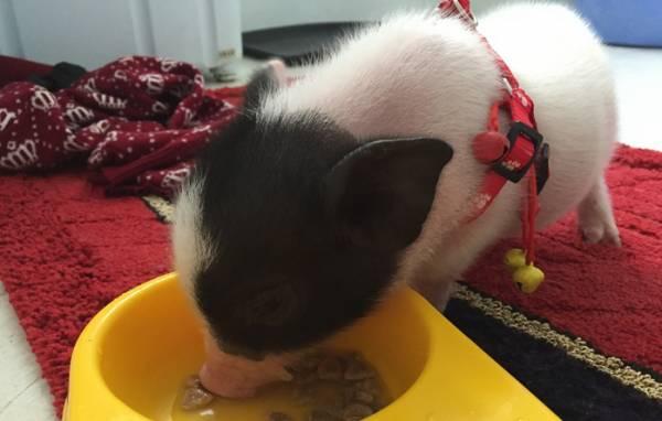 宠物猪的养护