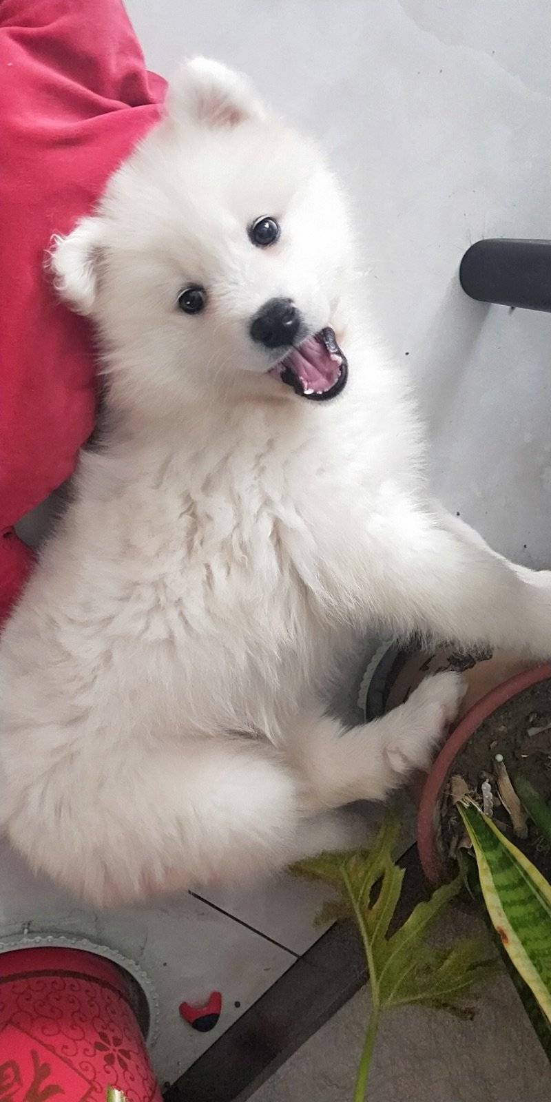 我家狗狗两个月大了