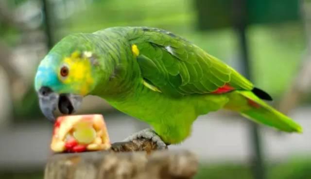 关于鹦鹉啄羽症病因、症状及防治