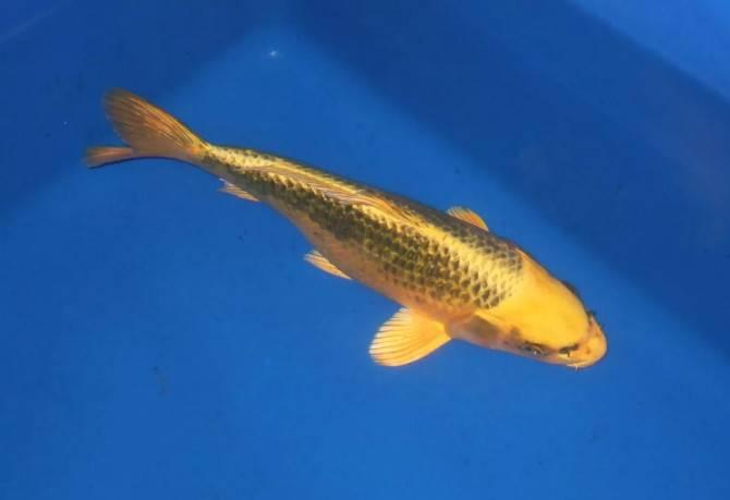 这10种观赏鱼一看就不凡,体色如同黄金一般亮眼!