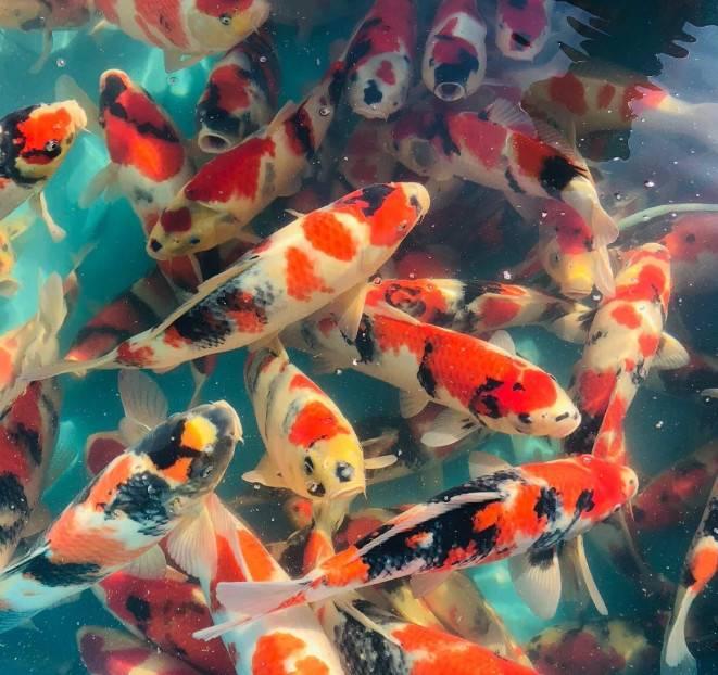刚买回来的鱼怎么处理,这些正确操作你都会了么?