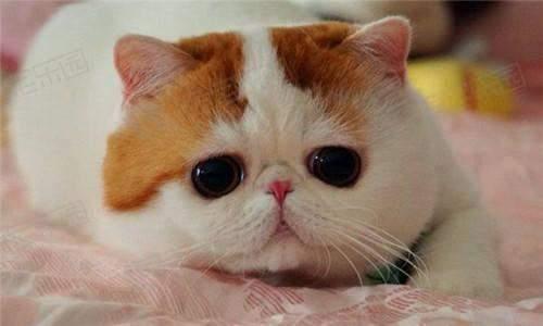 如何挑选一只加菲猫?