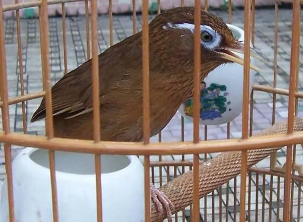 画眉鸟怎么养,画眉鸟换毛期的护理细节(建议收藏)