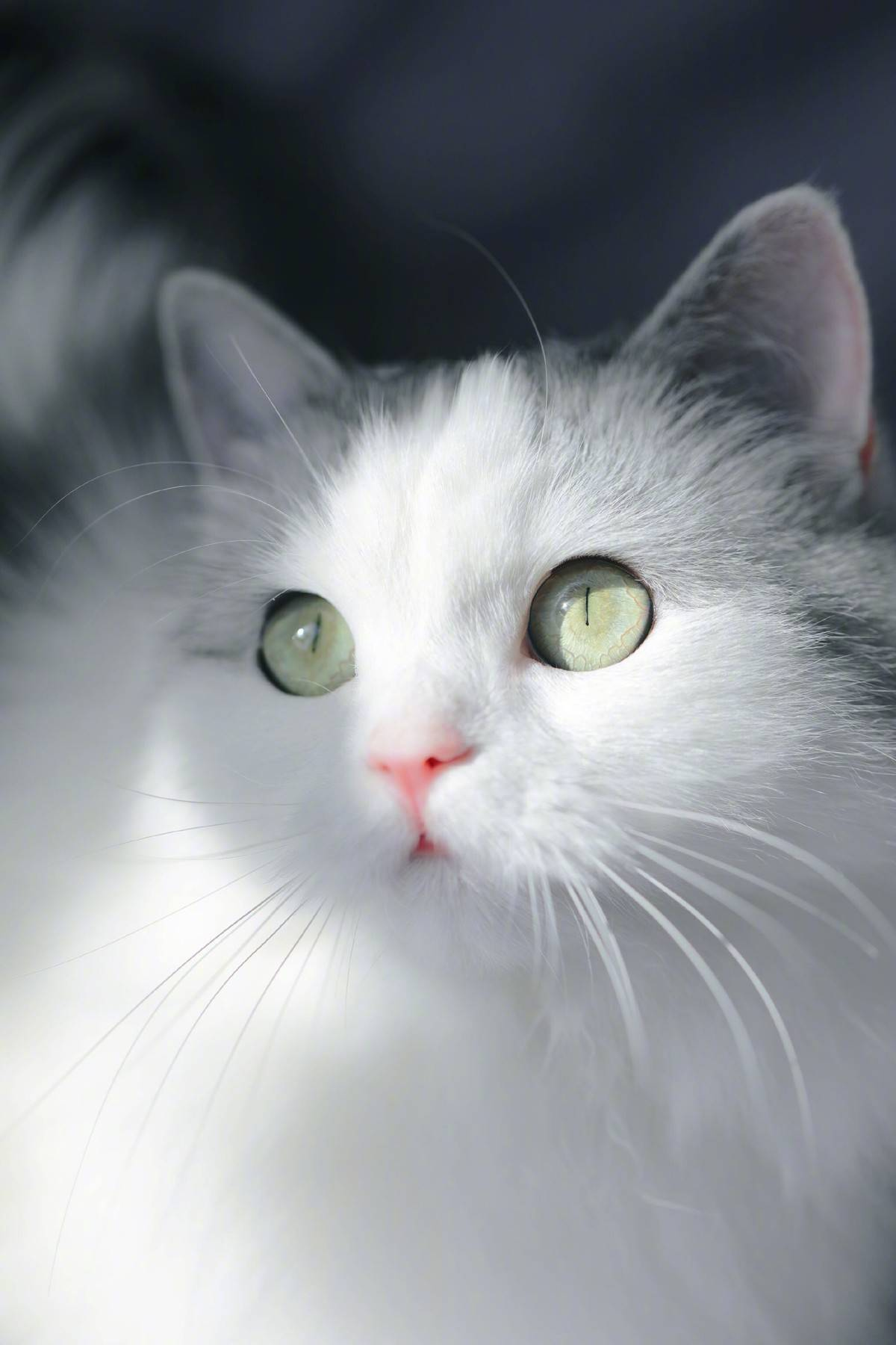 突然发现我们家猫跟微博网红馒头长的像呢,我们美牙黑眼线怎么没画上呢,太素颜啦