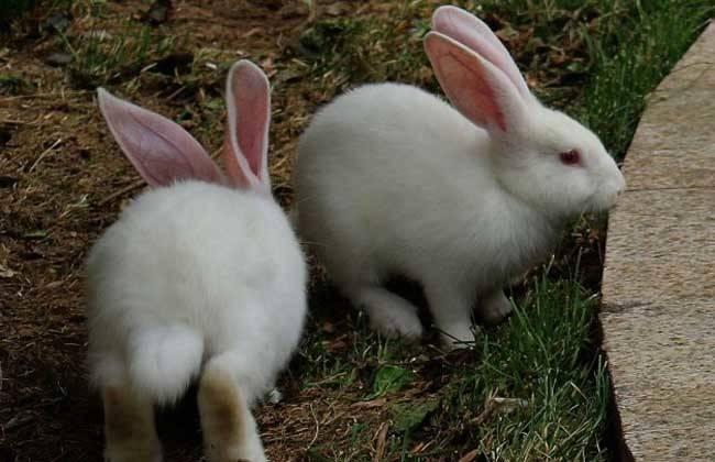 兔子能吃包子吗?