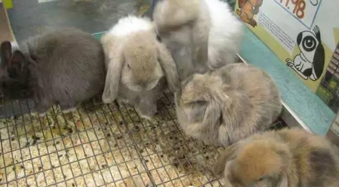 宠物兔子怎么养?养兔子的基本知识