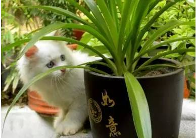 对猫咪有害的观叶植物,养猫的小伙伴们要记下哦