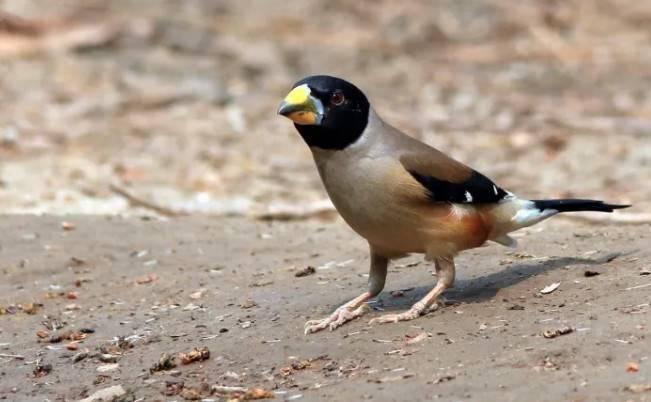 蜡嘴鸟怎么养,下面给大家聊聊蜡嘴鸟食谱、发口、脱毛问题